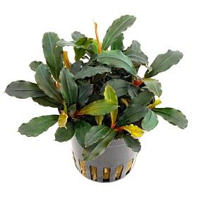 Bucephalandra \'lamandau Mini Red\' (potte)